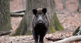 Caz de pestă porcină africană la un porc mistreţ de pe raza fondului de vânătoare Siliştea