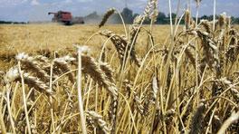 Fermierii vasluieni anunță producții de grâu de 1.000 kg la hectar! Se anunță scumpiri din toamnă!