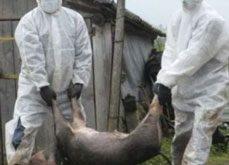 Suspiciune de pestă porcină  în județul Vaslui