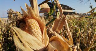 Țăranii vasluieni au obținut producții mici la porumb!