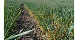 Evoluția condițiilor climatice şi a culturilor în cadrul SCDP Vaslui în perioada octombrie 2019-prima decadă a lunii mai 2020