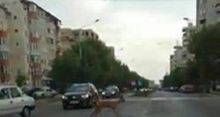 VIDEO/ O căprioară, rătăcită pe străzile Bârladului!